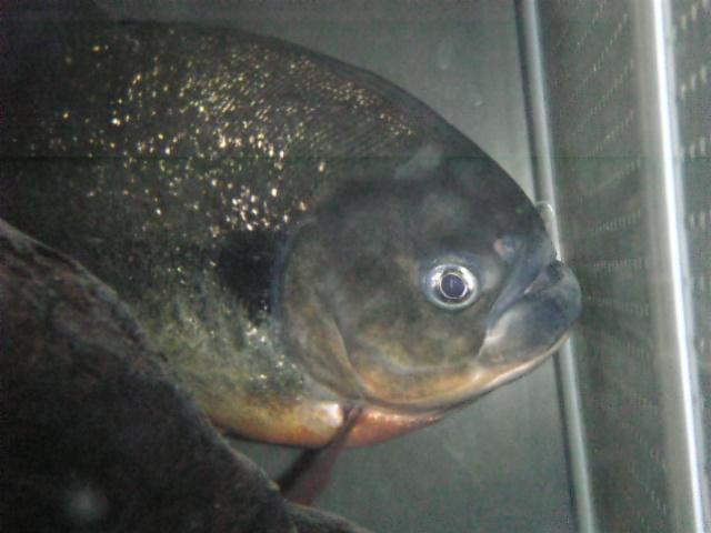 鈐猛魚界のカリスマ鈐牙ポニョのホームページ 携帯ホームページ フォレスト